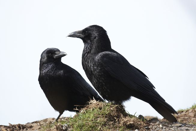 crows-on-hill2.jpg.653x0_q80_crop-smart2
